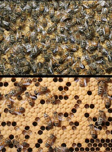 a study of colony collapse disorder or ccd The results are stunning, especially if you haven't put much credence in the possible connection between colony collapse disorder and cell phone radiation the study looked at both biological and behavioral differences between the bees which were exposed to radiation and those which were not exposed.